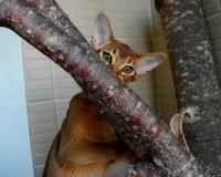 Абиссинская кошка питомника