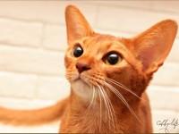 Абиссинская кошка американских линий